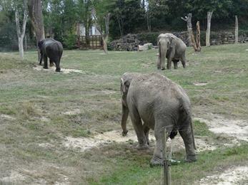 2018.08.25-019 éléphants d'Asie