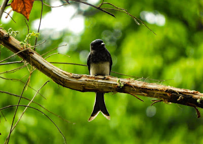 White bellied Drongo