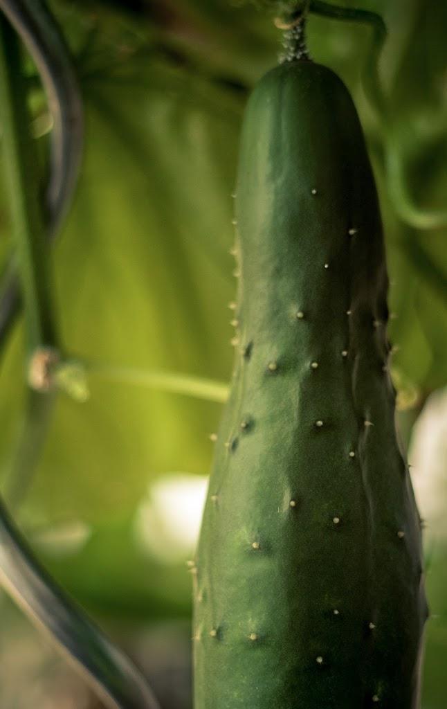 Cucumbers-08