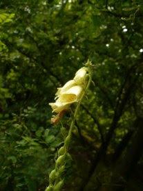 Naparstnica zwyczajna kwiat Digitalis grandiflora flower