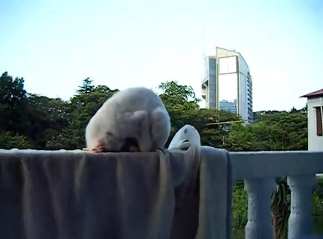 【動画】ベランダで土下座しながら寝てる猫 (※おそらく人間には不可能な土下座w)