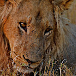 Africa-Lion Close Up.jpg
