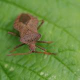 Heteroptera : Coreidae : Coreus marginatus (LINNAEUS, 1758). Les Hautes-Lisières (Rouvres, 28), 13 juin 2012. Photo : J.-M. Gayman