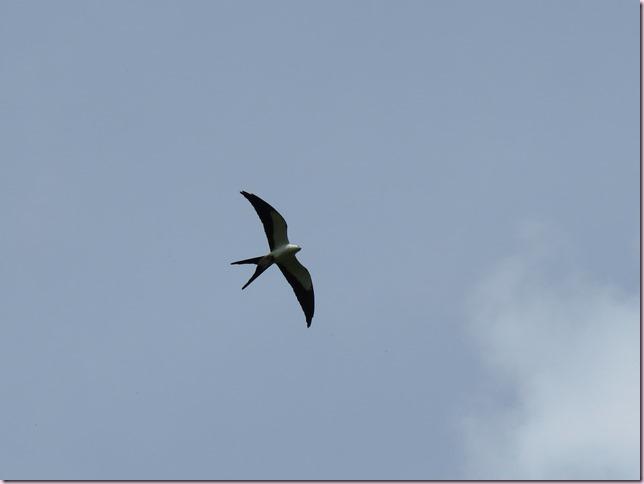 swallowtailkiteIMG_6726