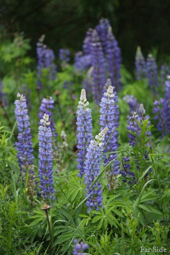 Lupines June 17