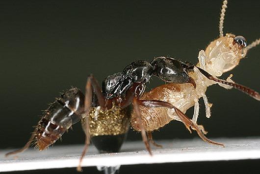 Pachycondyla-chinensis-te12B