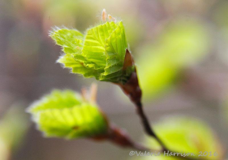 [3-Beech-leaves%5B2%5D]