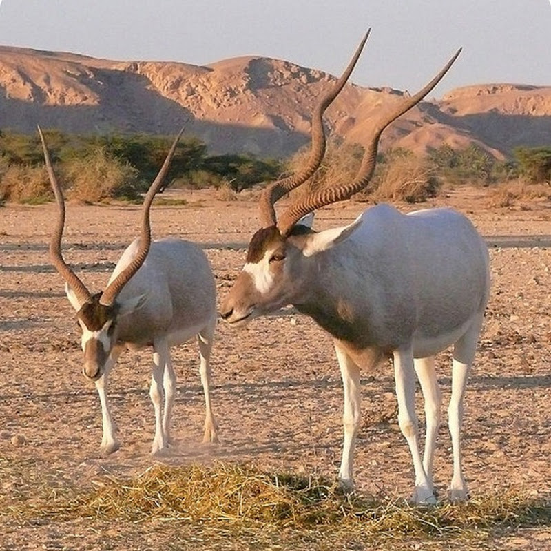 Addax, once populated the sub-Saharan desert, now have become one of the most endangered species.