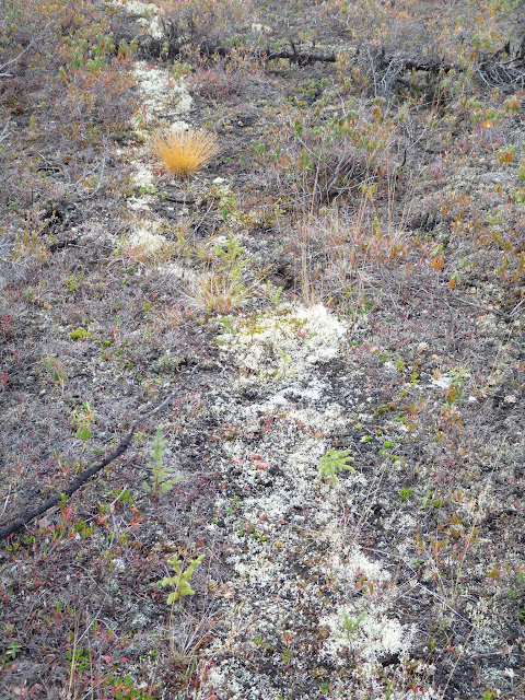 A Moose trail. Why Coral Lichen is restricted to the trail is a mystery!