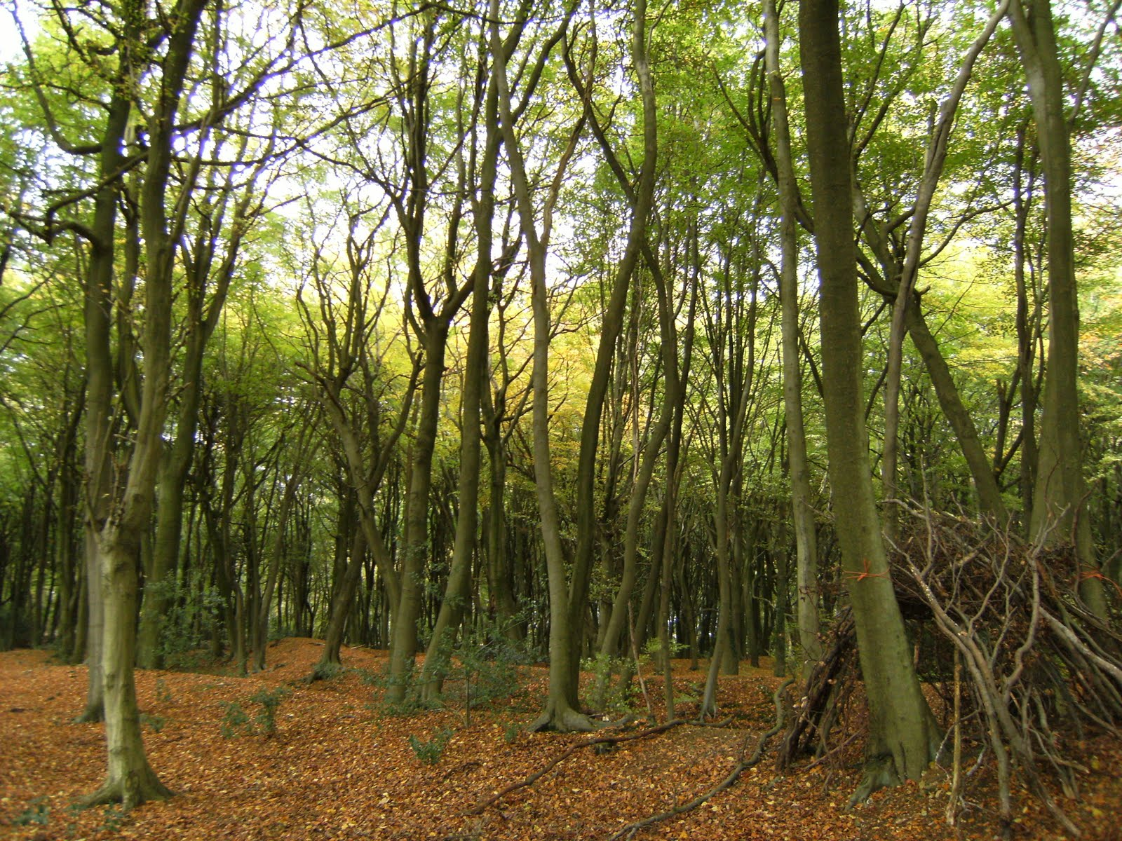 DSCF2154 Beech wood, South Heath