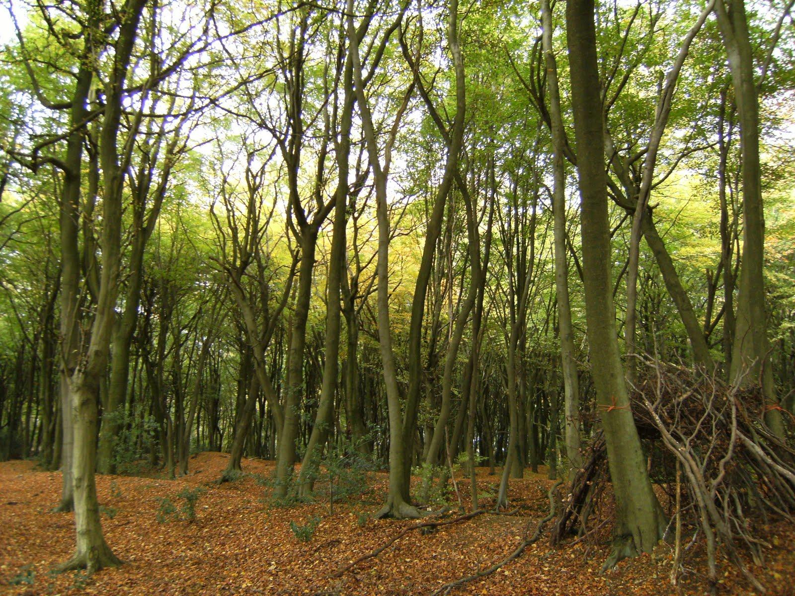 DSCF2154 Beech wood, South Heath