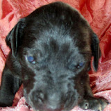 Available black female @ 2 weeks