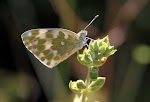 Grønbroget kålsommerfugl - Pontia edusa2.jpg
