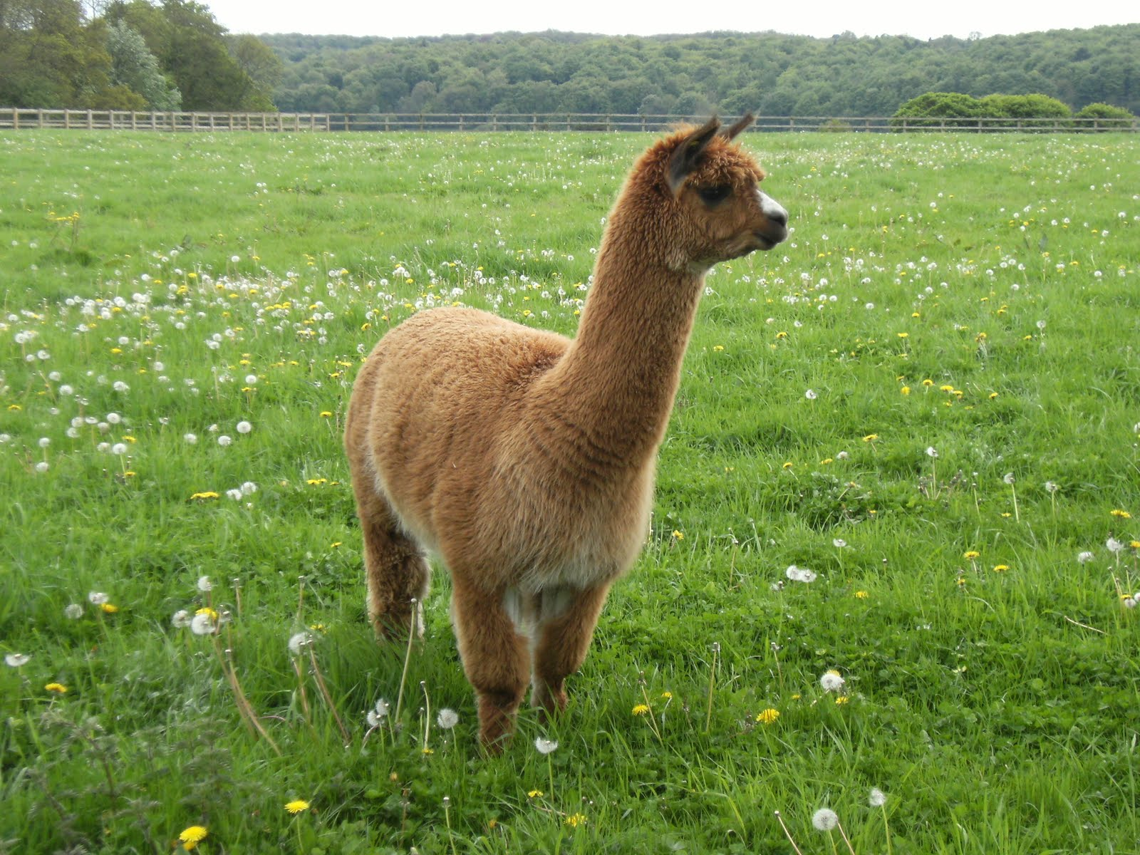 1005150005 Alpaca at Dungrove Farm