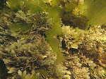 Coralline alga (Corallina officinalis)  with Ulva