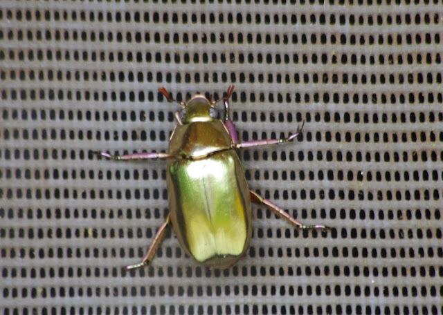 Rutelidae : Chrysina sp. Probablement : Chrysina resplendens (BOUCARD, 1875). Tunda Loma à Calderon (San Lorenzo, Esmeraldas), 7 décembre 2013. Photo : J.-M. Gayman