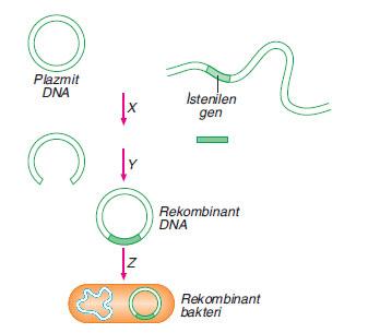 bir hücreye ait bir genin plazmit DNA içine yerleştirilerek, bakteri hücresine aktarımı