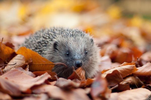[Hedgehog%5B3%5D]