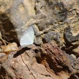 Eurema albula albula (CRAMER, 1775). Carbets de Coralie (Crique Yaoni), octobre 2012. Photo : J.-M. Gayman