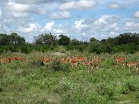 Impala - Okavango Delta