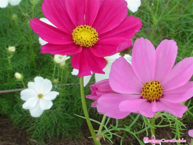 Instruction to Grow Cosmos Flower Beautifull