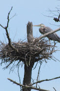 Heron Colony at Libby Hill-018.JPG