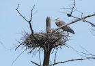 Heron Colony at Libby Hill-018.JPG
