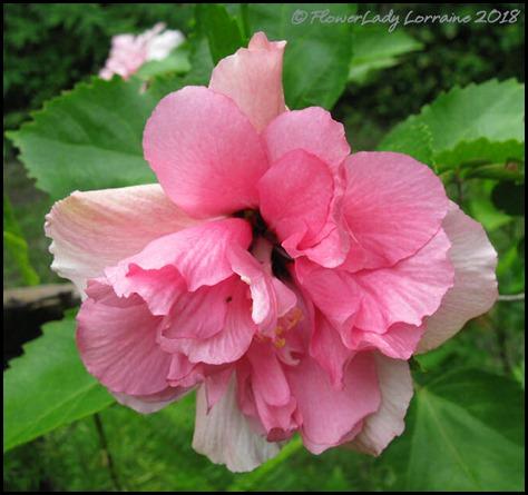 07-06-pink-hibscus6