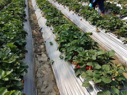 Strawberry field at Taichung Taiwan
