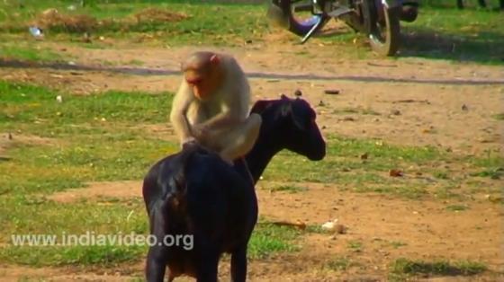 القرد قائد الماعز