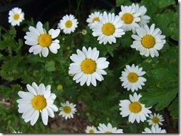 margaritas flores (51)