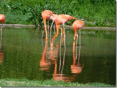 22 caribbean flamingos