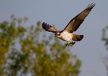 Il ritorno del falco pescatore. Dalla Toscana a Varese, speranze per la specie