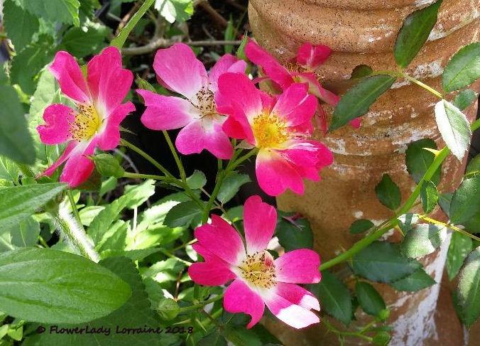 [03-06-two--tone-carpet-roses2%5B9%5D]