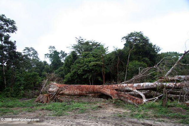 An emergent canopy tree felled for timber in East Africa. The great height of these canopy trees creates a large vertical space beneath which smaller trees and plants can grow, promoting extraordinary biodiversity. Photo: Rhett A. Butler / mongabay.com