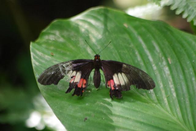 Papilio (Heraclides) anchisiades lamasi BROWN, 1994, femelle. Tunda Loma à Calderon (San Lorenzo, Esmeraldas), 28 novembre 2013. Photo : J.-M. Gayman