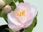 淡桃色より白色 紅色絞り 八重咲き 小輪 多花性 有香