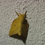 Saturniidae : Ceratocampinae : Adeloneivaia subangulata (Herrich-Schäffer, [1855]), mâle. Cupiagua, 620 m (Casanare, Colombie), 4 novembre 2015. Photo : J.-M. Gayman