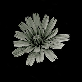 by Joelle McGraw - Nature Up Close Flowers - 2011-2013 ( up close, white, grey, flowers, black )