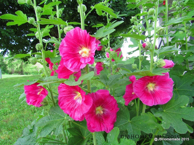 Skin Benefits of Hollyhock Infusion