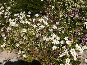 ceraiste des Alpes juliennes Cerastium julicum Caryophyllacees.JPG