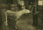 A király által adományozott vadszamár a budapesti állatkertben, 1906 (Fotó: OSZK)