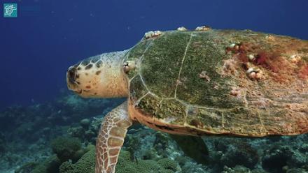 Τραγικό ρεκόρ : Πάνω από 700 νεκρές θαλάσσιες χελώνες στην Ελλάδα το 2020