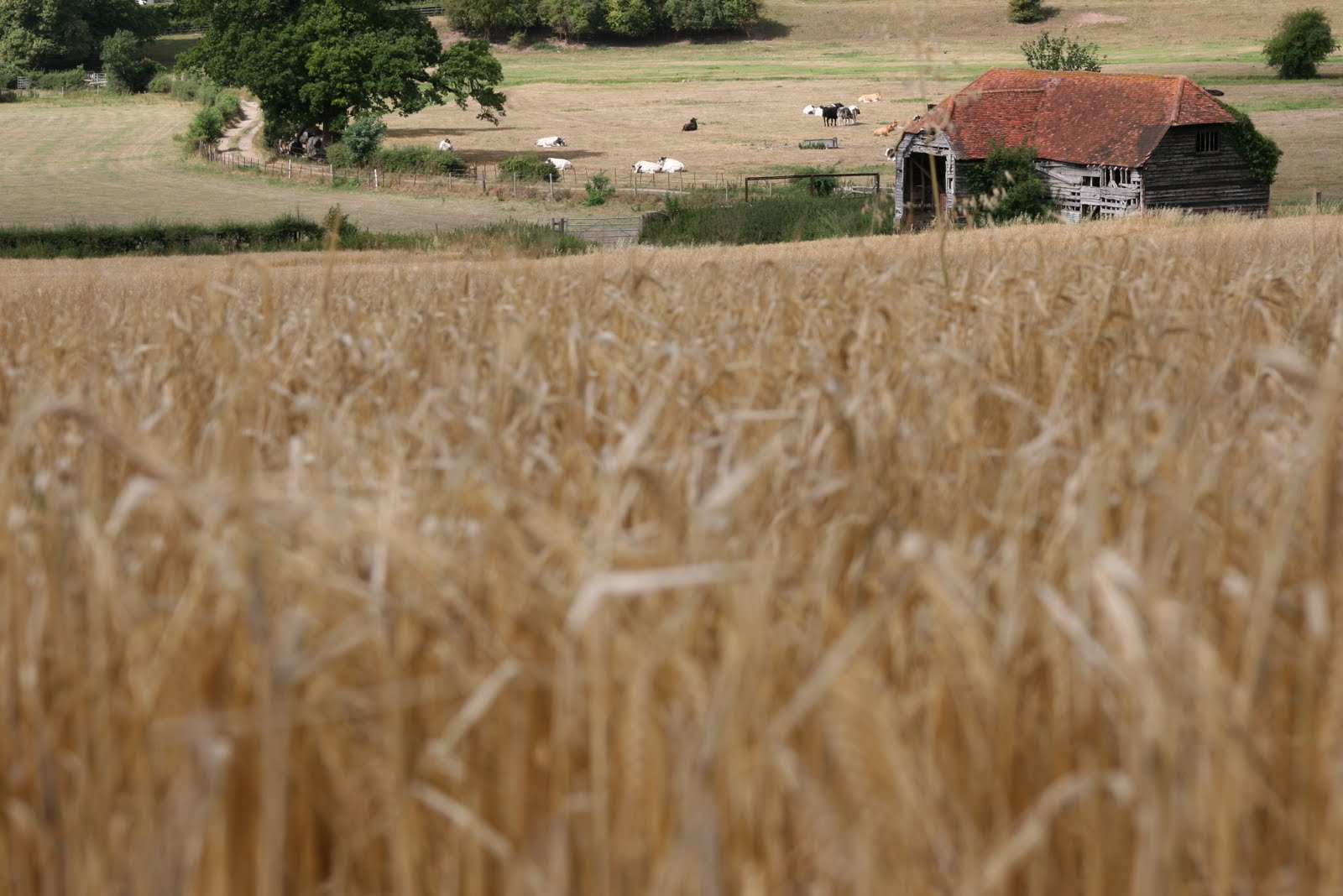 1008 001 Henley via Hambleden Circular, The Thames Valley, England Across the field to the barn
