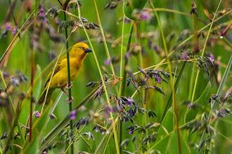 Photo: A male Holub's golden weaver; Um macho de  tecelão-dourado-de-Holub