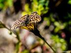 Zillertaler butterfly