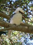 Laughing Kookaburra, Bronte Park  [2013]