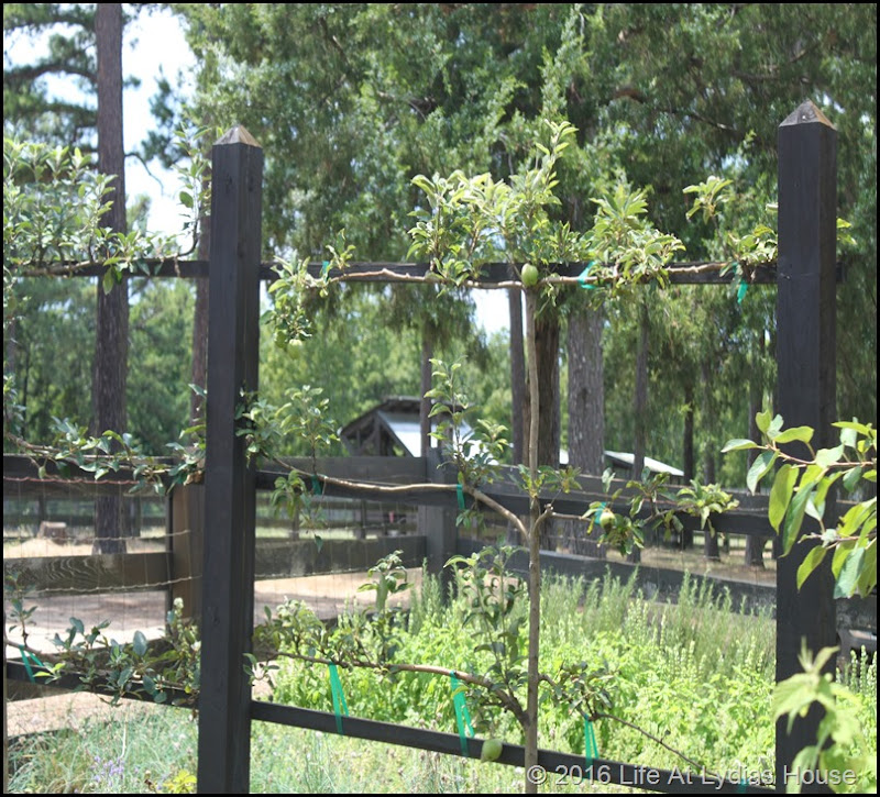 vegetable garden espaliered fruit trees 2