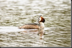 Great creasted grebe