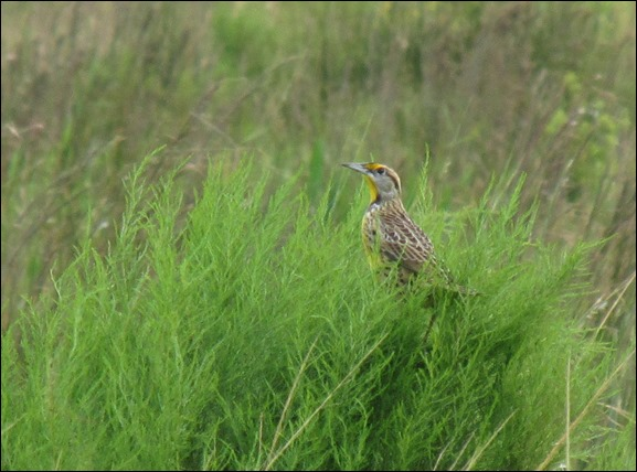 Eastern Meadowlark Bird (6)
